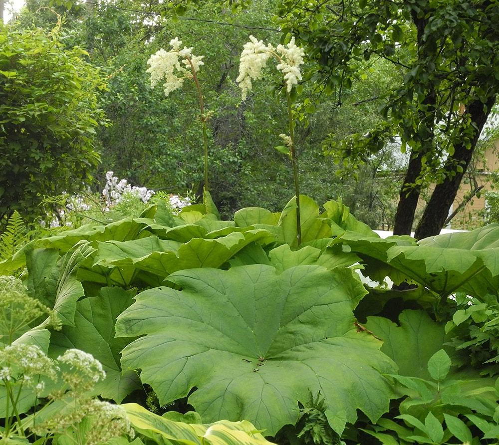 пушистой гривой астильбоидес фото выращивание хоть